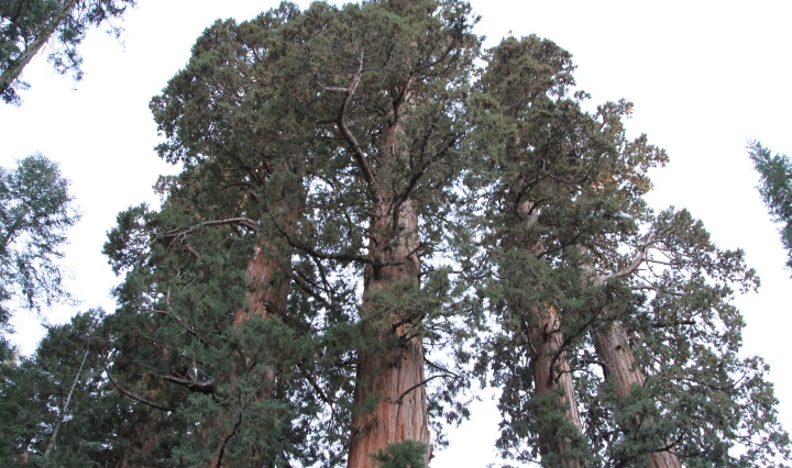 Towering sequoias at Sequoia National Park California